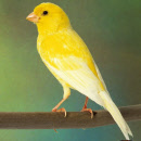 chinese fusan canary. (3)_000